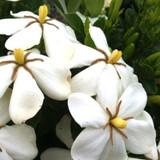 Hardy Daisy Gardenia White Flowers
