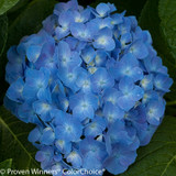 Let's Dance Blue Jangles Hydrangea Flower