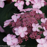 Pink Let's Dance Starlight Hydrangea Lacecap Flower