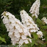 White Gatsby Gal Hydrangea Flowers