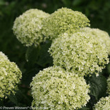 Invincibelle Limetta Hydrangea Mophead Flowers