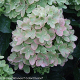 White Little Lime Hydrangea Flower