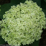 Green Lime Rickey Hydrangea Flower