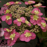 Red and Green Tuff Stuff Red Hydrangea Flowers