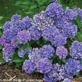 Cityline Venice Hydrangea Shrub Covered in Blue Flowers