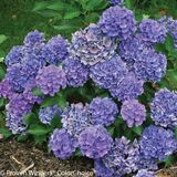 Cityline Venice Hydrangea Shrub Covered in Blue Flowers