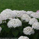 Invincibelle Wee White Hydrangea Flowers
