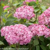 Invincibelle Spirit II Hydrangea Flowers