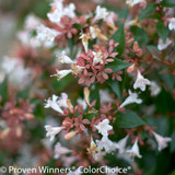 Small Ruby Anniversary Abelia Flowers Up Close