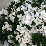 Bloom-A-Thon White Azalea Flowers