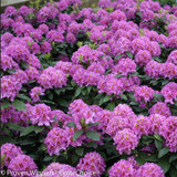Dandy Man Purple Rhododendron Flowers