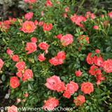 Oso Easy Mango Salsa Rose Foliage and Flowers