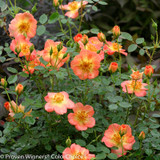 Oso Easy Paprika Rose Flowers and Buds