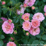 Oso Happy Petit Pink Rose Flowers and Foliage