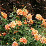 At Last Rose Shrub Covered in Blooms