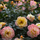 Oso Easy Italian Ice Rose Flowers and Foliage