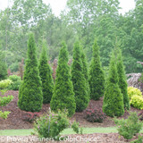 North Pole Arborvitae Mass Planting