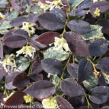 Jazz Hands Night Moves Loropetalum Shrub Foliage