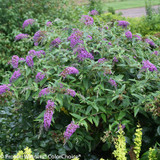 Lo and Behold Purple Haze Butterfly Bush Covered in Flowers