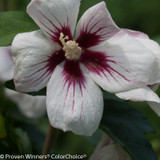 Lil Kim Rose of Sharon Flower Close Up