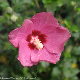Lil Kim Red Rose of Sharon Flower Close Up