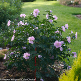 Pollypetite Rose of Sharon Shrub Blooming in the Garden