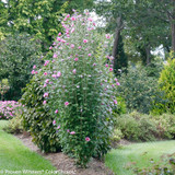 Purple Pillar Rose of Sharon in the Landscaping