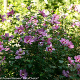 Purple Satin Rose of Sharon Shrub Covered in Flowers
