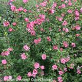 Ruffled Satin Rose of Sharon Shrub Covered in Flowers