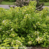 Festivus Gold Ninebark Bushes Blooming