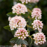 Tiny_Wine_Ninebark_Flower_Buds_and_Blooms