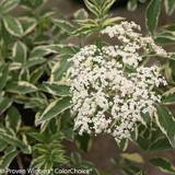 Instant Karma Elderberry Shrub Flowering