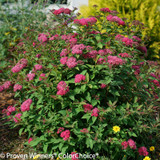 Double Play Doozie Spirea Bush Blooming