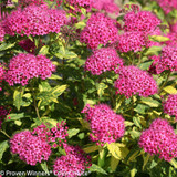 Double Play Painted Lady Spirea Flower Clusters