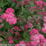 Double Play Pink Spirea Flowers Close Up