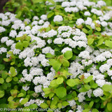 Glow Girl Spirea Shrub Covered in Blooms