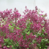 Bloomerang Dark Purple Lilac Branches Covered in Flowers