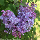 Scentara Double Blue Lilac Blooms Close Up