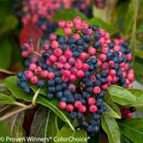Red and Blue Brandywine Viburnum Shrub Berries
