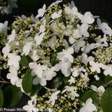 Wabi Sabi Viburnum Flowers and Flower Buds