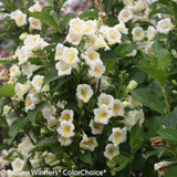 Czechmark Sunny Side Up Weigela Bush Flowering