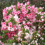 Czechmark Trilogy Weigela Flowers and Foliage