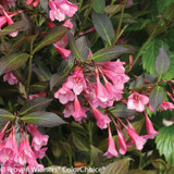 Fine Wine Weigela Foliage Leaves and Blooms