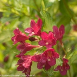 Ghost Weigela Flower Petals