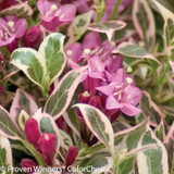 Pink and Purple My Monet Weigela Flowers