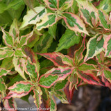 Pink Yellow Green Leaves on My Monet Sunset Weigela