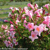 Sonic Bloom Pure Pink Weigela Flowers Close Up