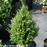 Patti O Japanese Holly Shrub