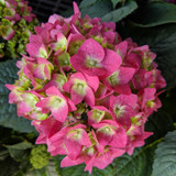 Endless Summer Summer Crush Hydrangea Red Blooms