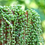 String Of Pearls Growing Downward